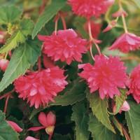Begonia Rose Trailing