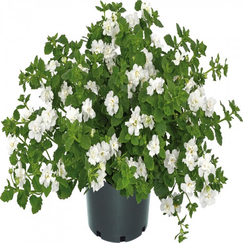 Bacopa Baristo Double White