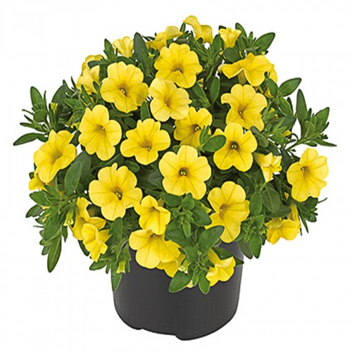Calibrachoa Deep Yellow