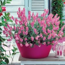 Diascia Sundiascia Up Blush Pink