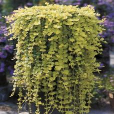 Lysimachia Nummularia Aurea Goldilocks