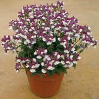 Nemesia Nuvo Purple Bicolor