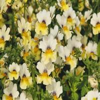 Nemesia Sunsatia Plus Little Vanilla