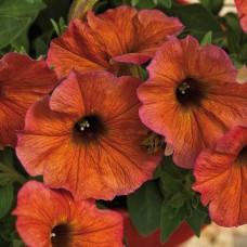 Petunia Cinnamon