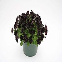 Petunia Collection Black