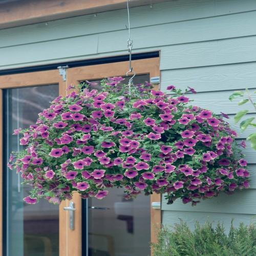 Petunia Designer Buzz Purple