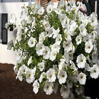 Petunia Surfinia White