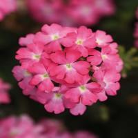 Verbena Pink (upright)