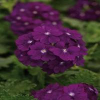 Verbena Bright Purple (upright)