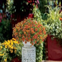 Calibrachoa Tangerine Star
