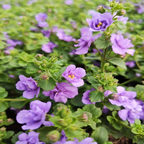 Bacopa Baristo Double Blue