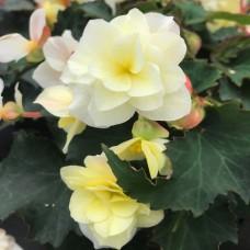 Begonia Vanilla Trailing