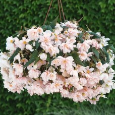 Begonia Apricot Trailing