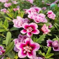 Calibrachoa Pink Bicolor