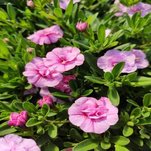 Calibrachoa Can-Can Rosies Light Pink