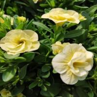 Calibrachoa Double Light Yellow
