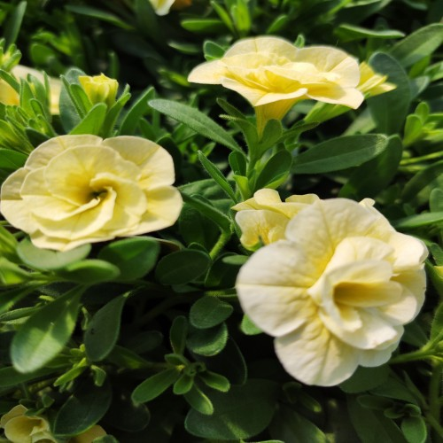 Calibrachoa Can-Can Rosies Light Yellow