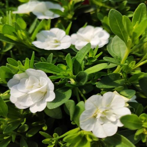 Calibrachoa Can-Can Rosies White