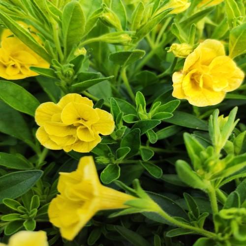 Calibrachoa Can-Can Rosies Dark Yellow