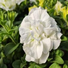 Petunia Viva Double White
