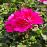 Geranium Rose/Violet