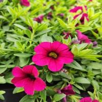 Calibrachoa Pink Velvet