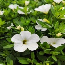 Calibrachoa White