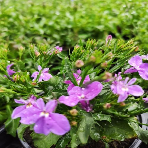 Lobelia Lilac