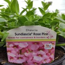 Diascia Sundiascia Up Rose Pink
