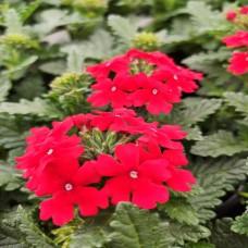 Verbena Red (rampant)