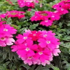 Verbena Pink (rampant)
