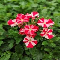 Verbena Red Star (rampant)