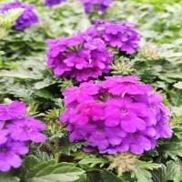 Verbena Violet (rampant)