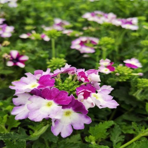 Verveine Twi-Star purple (montant)