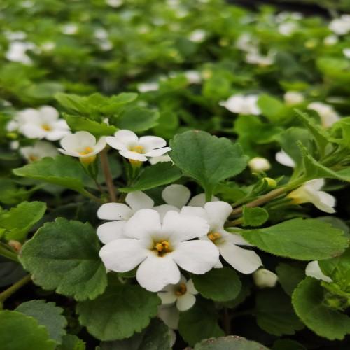 Bacopa White