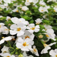 Bacopa Jumbo White