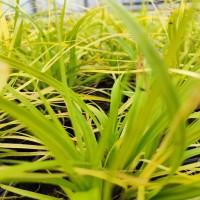 Carex Everillo (3L pot)