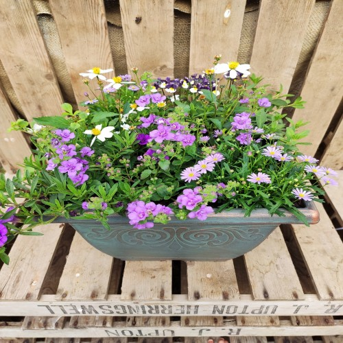 Medium height square plastic green planter planted in purple and white