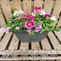 Medium height square plastic green planter planted in pink and white