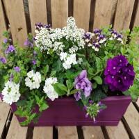Window box 50cm purple