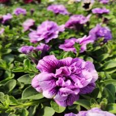 Petunia Lavender Bouquet