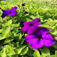 Petunia Surfinia Blue