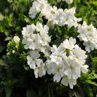 Verbena White (upright)