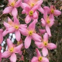 Clematis Montana Warwickshire Rose