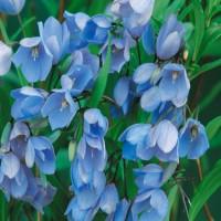 Sollya Heterophylla (Bluebell Creeper)