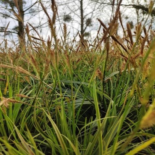 Carex Morrowii Variegata
