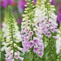 SPECIAL OFFER Digitalis Lavender/Rose (3 for 2)