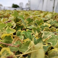 Hedera Gold