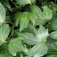 Hedera Green