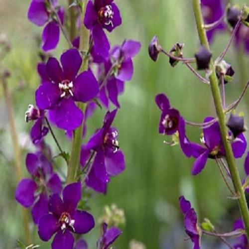 Verbascum Violetta